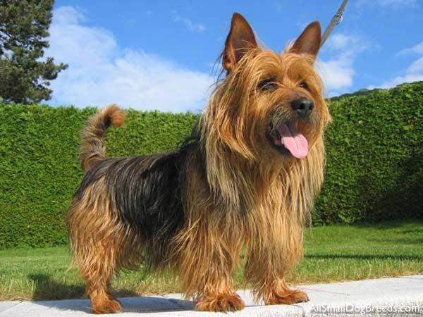 Giống chó Autralian Terria (chó Sục Úc) - Thú y Mỹ Đình